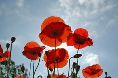 POPPIES! these will always remind me of our LA summer!@Anne-Marie Mueschke
