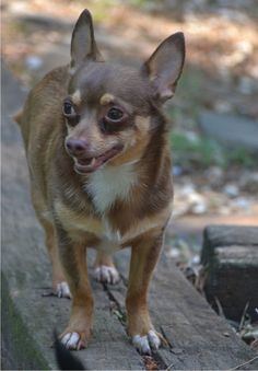 REESE is an adoptable Chihuahua searching for a forever family near Dunwoody, GA. Use Petfinder to find adoptable pets in your area.