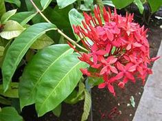 A ixora-chinesa é uma planta arbustiva própria para jardins tropicais. Seu caule é de textura lenhosa, ramificado, ereto e pode alcançar até 2 metros de altura. As folhas são simples, de co...
