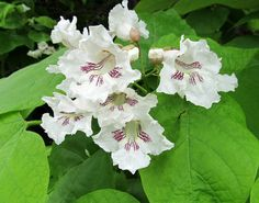 NORTHERN CATALPA TREE: (Catalpa speciosa). Photographed June 7, 2017 at Independence Marsh, Beaver County, PA Conservation District.