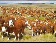 Agriculture, Farming, Farm Animals, Cute Animals, Hereford Cattle, Cattle Drive, Cowboy Pictures, Beef Cattle, Cute Cows