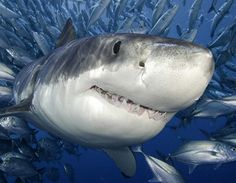 toothy grin--great white shark