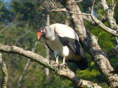 O urubu adulto apresenta plumagem predominantemente branca (Foto: Edvaldo de Souza/TG)
