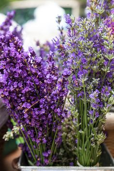 'Munstead' and 'Hidcote' English lavender in a metal basket at  farmers market. (Lavandula angustifolia 'Munstead' and Lavandula angustifolia 'Hidcote').