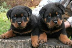 """""""We don't know the mischief that's ahead of us!"""" #dogs #pets #Rottweilers #puppies Facebook.com/sodoggonefunny"""