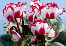 50pcs / bag 12kinds Cyclamen seeds, potted seed, flower seed, budding rate 95%,anti radiation, air purify, garden plant bonsai(China (Mainland))