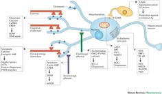 The adaptive cellular stress response at the biochemical and cellular level