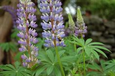 Our bees are dying at alarming rates, so plant pesticide-free gardens with flowers bees love.  A bumblebee gathers nectar from wild lupine; lupinus perennis is also the only plant on which the endangered Karner Blue Butterfly feeds
