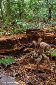Goliath birdeater- The world's biggest spider
