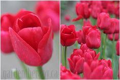 Google Image Result for http://gardentherapy.ca/wp-content/uploads/2012/04/Ile-de-France-Tulip-COL-Medium.jpg