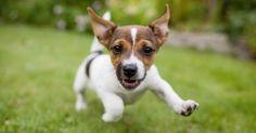 Vous venez d'adopter un chiot ? Vous vous demandez quand et comment commencer à le sortir ? Chloé Fesch, éducateur canin comportementaliste et formatrice à ce métier chez Nature de Chien vous propose de découvrir tous ses conseils pour réussir les premières promenades avec votre chien.