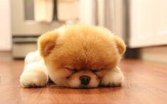 Download wallpapers Pomeranian dog, sleeping boo, puppy, dogs, cute animals, boo, small boo, pets, Pomeranian Spitz