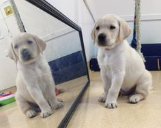 Guiding Eyes pup in training checks himself out in the mirror