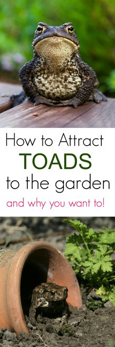 Are toads beneficial to a garden? Learn how to attract toads to the garden and why you want them them. Are toads beneficial to a garden? Learn how to attract toads to the garden and why you want them them. Diy Garden, Dream Garden, Lawn And Garden, Garden Projects, Garden Landscaping, Garden Pond, Garden Frogs, Landscaping Ideas, Garden Art