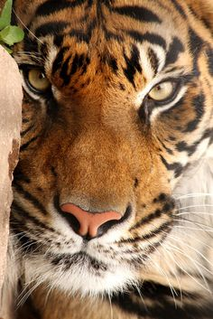 Tiger (Panthera tigris).  There are four Big Cats: Tiger, Lion, Leopard and Jaguar.  -kc -- [REPINNED by All Creatures Gift Shop]