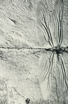 """This dragonfly, preserved in the limestone of Solnhofen, Bavaria, lived millions of years ago."" Insects; the yearbook of agriculture,1952."