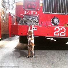 Carlow, who was named after a pub near the firehouse, is 'really a firehouse dog trapped i...