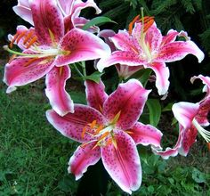 "ORIENTAL STARGAZER LILY BULBS POWERFULLY FRAGRANT HUGE 8"" FLOWERS TALL PLANTS!!!"