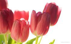 Description: Spring Flowers 31 HD Wallpaper is Wallpapers for pc desktop,laptop or gadget. Spring Flowers 31 HD Wallpaper is part of the Flowers collection ...