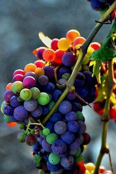 a beautiful rainbow of grapes, mother nature at its best! Vides, In Vino Veritas, Over The Rainbow, Fruits And Veggies, Belle Photo, Rainbow Colors, Rainbow Fruit, Color Inspiration, Interior Inspiration