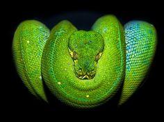 O site Environmental Graffiti elegeu aquelas que considera as espécies de cobras mais bonitas da natureza. Veja a seguir imagens de todas as eleitas  Foto: Getty Images