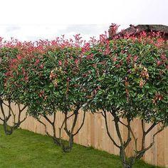 Red tip photinia Plants Backyard Trees, Backyard Privacy, Backyard Fences, Privacy Trees, Privacy Plants, Landscaping Along Fence, Home Landscaping, Red Tip Photinia, Landscape Design