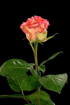Latin Ambiance Roses   Fair Trade Flowers