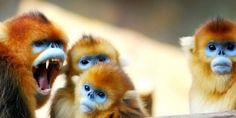 Snub-nosed monkey #animals #blue #red #head
