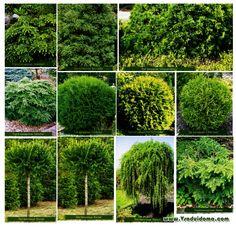 Карликовые хвойные растения – сорта и посадка для украшения участка | Сайт о…