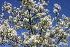 Essbare Felsenbirne 'Ballerina' - Amelanchier laevis 'Ballerina' Ballerina, European Garden, Amelanchier Laevis, Park, Plants, Beautiful, Gardens, Flower Beds, Planting