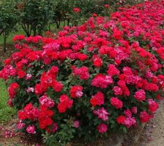 Easy to grow and disease resistant Knockout Roses. Including the new Double Knockout Rose series. Knockout Roses bloom up to 9 months a year and require zero maintenance. Knockout Roses Colors, Double Knockout Roses, Small Flowering Plants, Sun Plants, Small Shrubs, Rosa Rose, Growing Roses, Hybrid Tea Roses, Garden Art