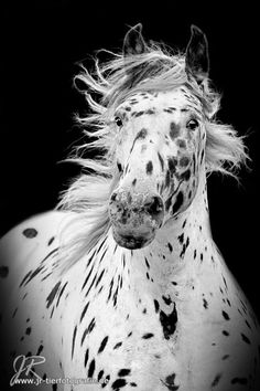 Love this Appaloosa