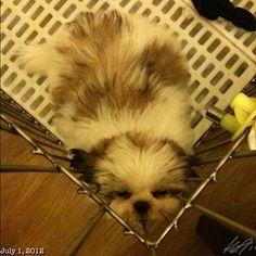 お疲れLuna #shihtzu #puppy #dog #philippines #フィリピン #シーズー #犬