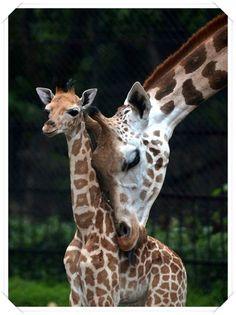 Anne  ve  yavru zürafa