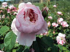 Englische Rose The Alnwick Rose ® Ausgrab ® Züchter David Austin 2001