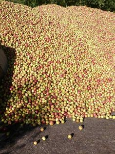 Pennard's yield of cider apples, ready to wassle in a cider press. The history of cider making in Somerset goes back for centuries and is still very prominent today.