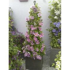 Clematis Piiliu Climbing Clematis, Buy Christmas Tree, Garden Cafe, Chelsea Flower Show, Lighting Online, Trees To Plant, Garden Furniture, Seeds, Great Gifts