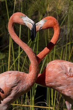 Flamingo Heart by Official San Diego Zoo