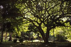 Nature Landscape Photography  Hawaii Tree by SilverBirdBoutique, $18.00