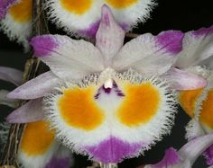 Dendrobium devonianum - Flickr - Photo Sharing!