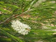 The Melaleuca or Paperbark The melaleuca is a genus of flowering evergreen Australian native shrubs and trees. It is a member of the myrtle family, Myrtaceae. They generally prefer well drained friable soil and full sun. The smaller varieties have been known as honey myrtles, tee trees, (...