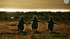 Пингвинята, Andreas Butz на 500px.com Фото с Фолклендских островов: птенцы папуанских пингвинов бегут навстречу родителям.