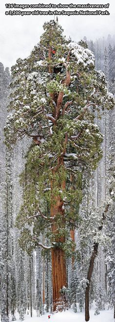 3200-year-old tree