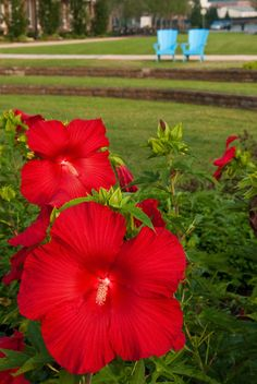 The Riverfront 2 is a nature photograph of two large red Hibiscus blooms and two blue Adirondack chairs that were in the park on the Riverfront parkway in the city of Wilmington, Delaware.  Title: The Riverfront 2 Photographer: Melissa Fague Genre: Nature Photography Get prints and usage license: www.pipafineart.com #awesomeearth #awesome_earthpix #fantastic_earth #therare_earth #nature #NatureGeography #nuc_mbr #nature_perfection #naturelovers #naturelover #naturephotography #ilovenature…
