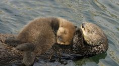 This mother sea otter has to supply enough milk to the pup. Mom has to eat for two. Let us know what you think about Otter 501: A webStory by completing our short survey at http://www.surveymonkey.com/s/LF9DGTM.