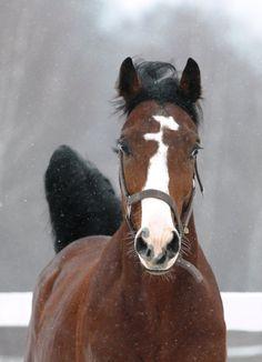 Ukrainian Riding Horse Отелло (Otello)