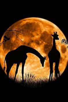 ♥ Savanna full moon night