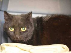 Adopted/rescued! TO BE DESTROYED 2/8/15 *NYC* PRETTY, SWEET KITTY! * Brooklyn Center * Candice was displaying good behavior. Did not come to the front of the kennel but interacts with the Assessor, appreciates attention, is easy to handle and tolerates all petting. *   My name is CANDICE. My Animal ID # is A1026844. I am a female black and white domestic sh mix.  I am about 5 YEARS old.   OWNER SUR on 01/31/2015 from NY 11203, OWN EVICT.