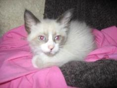 Bandit is an adoptable Ragdoll Cat in Irving, TX. Please contact Ginny ( ginny.jameson@cbdfw.com ) for more information about this pet. Bandit is a8-10 week old Ragdoll mix kitten. He is very loving,...
