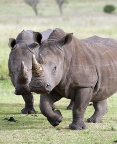 Feb 6, 2013: Johannesburg, South Africa - A total of 82 rhino have been poached in the country since January 1, the water and environmental affairs department said on Wednesday.